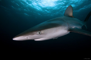 Dusky Shark by Allen Walker 